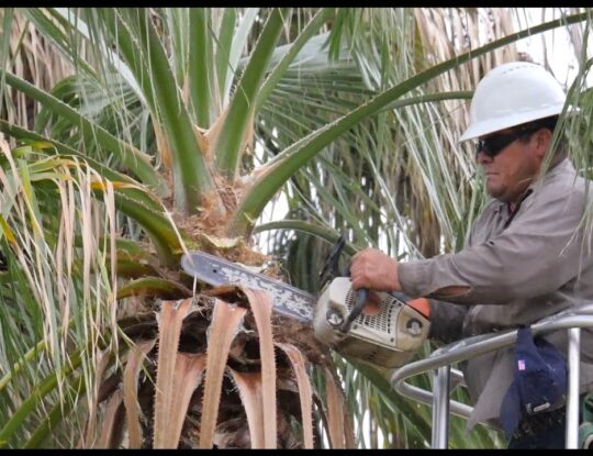 Palm Tree Trimming-Palm Beach County Tree Trimming and Tree Removal Services-We Offer Tree Trimming Services, Tree Removal, Tree Pruning, Tree Cutting, Residential and Commercial Tree Trimming Services, Storm Damage, Emergency Tree Removal, Land Clearing, Tree Companies, Tree Care Service, Stump Grinding, and we're the Best Tree Trimming Company Near You Guaranteed!