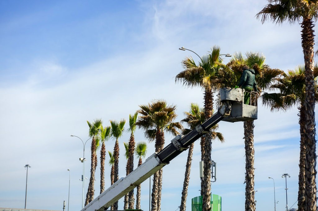 How much does it cost to trim a palm tree - Palm Beach ...
