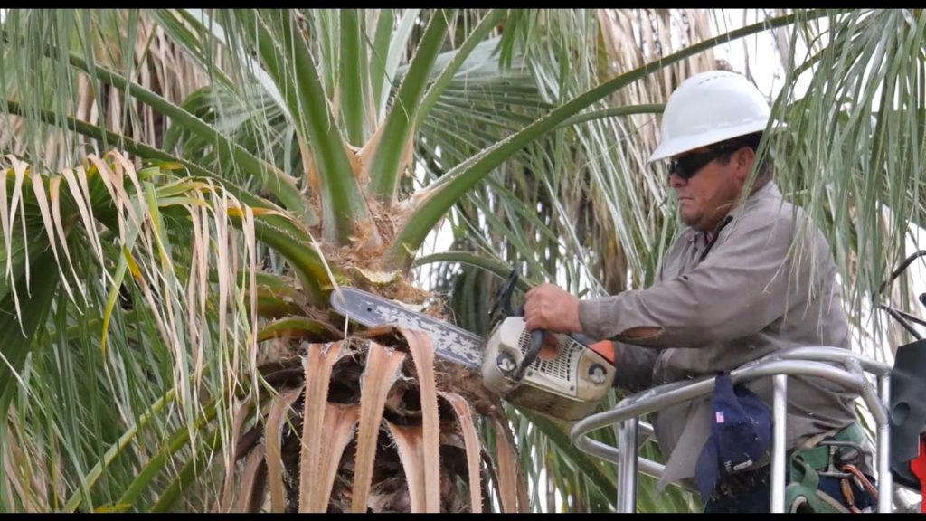 How much does it cost to trim tall palm trees-Palm Beach County Tree Trimming and Tree Removal Services-We Offer Tree Trimming Services, Tree Removal, Tree Pruning, Tree Cutting, Residential and Commercial Tree Trimming Services, Storm Damage, Emergency Tree Removal, Land Clearing, Tree Companies, Tree Care Service, Stump Grinding, and we're the Best Tree Trimming Company Near You Guaranteed!