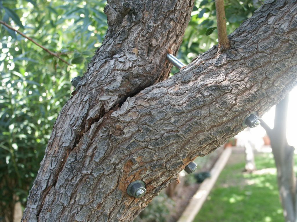 Tree Bracing & Cabling-Palm Beach County Tree Trimming and Tree Removal Services-We Offer Tree Trimming Services, Tree Removal, Tree Pruning, Tree Cutting, Residential and Commercial Tree Trimming Services, Storm Damage, Emergency Tree Removal, Land Clearing, Tree Companies, Tree Care Service, Stump Grinding, and we're the Best Tree Trimming Company Near You Guaranteed!