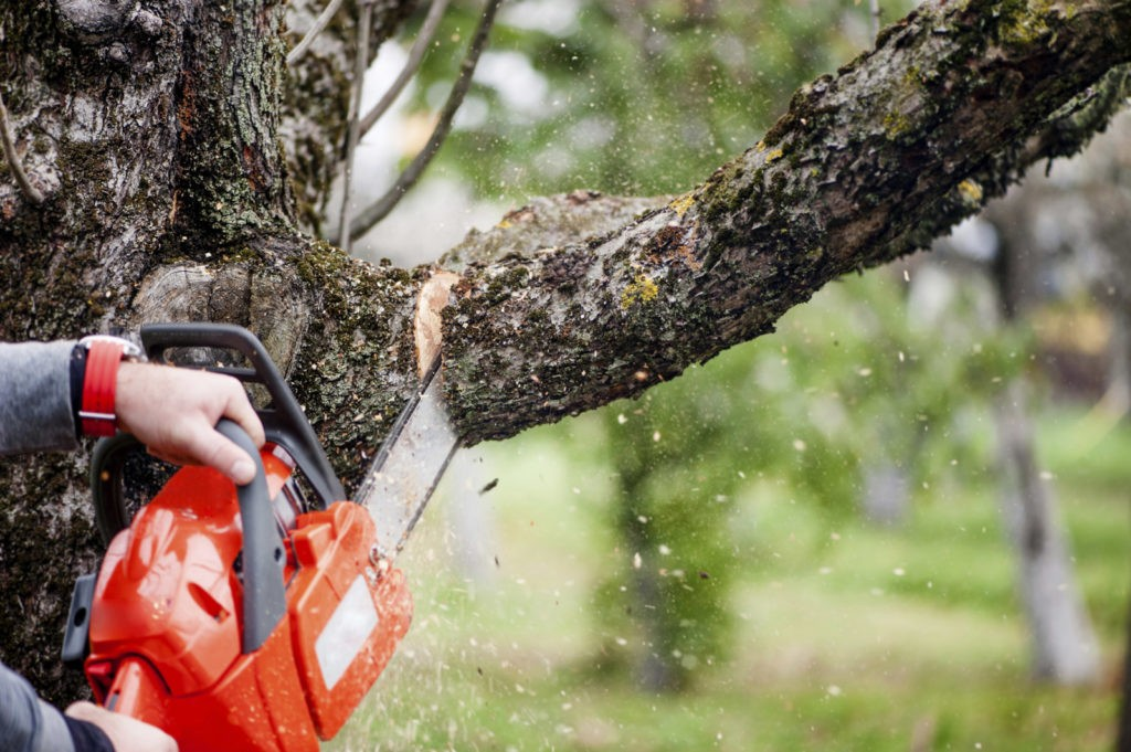When To Trim a Tree-Palm Beach County Tree Trimming and Tree Removal Services-We Offer Tree Trimming Services, Tree Removal, Tree Pruning, Tree Cutting, Residential and Commercial Tree Trimming Services, Storm Damage, Emergency Tree Removal, Land Clearing, Tree Companies, Tree Care Service, Stump Grinding, and we're the Best Tree Trimming Company Near You Guaranteed!